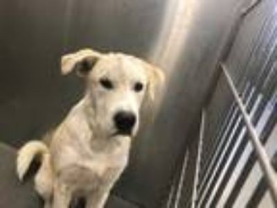 Adopt a Tan/Yellow/Fawn - with White Labrador Retriever / Mixed dog in Dallas