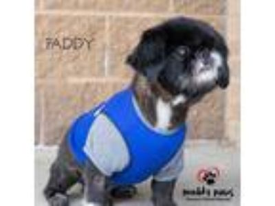 Adopt Paddy a Black Pekingese / Mixed dog in Council Bluffs, IA (24765600)
