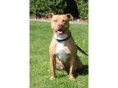 Adopt Tango a American Pit Bull Terrier / Mixed dog in Vallejo, CA (23221068)