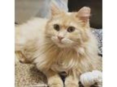 Adopt Honey a Tabby