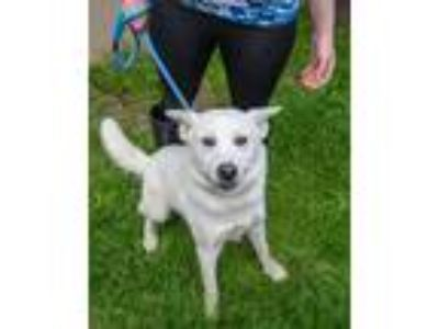 Adopt Zeus - available 5/19 a White German Shepherd Dog / Husky / Mixed dog in