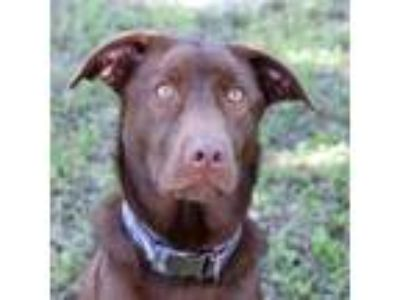 Adopt Hazelnut a Brown/Chocolate Retriever (Unknown Type) / Mixed dog in