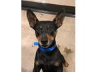 Adopt RADAR a Jack Russell Terrier / Miniature Pinscher / Mixed dog in Redwood