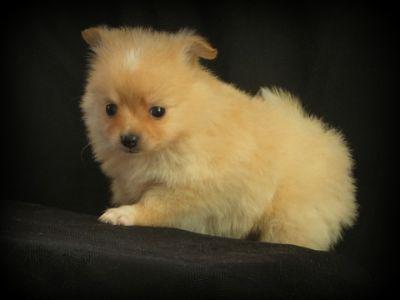 Pomeranian PUPPY FOR SALE ADN-52068 - Darling Pomeranian Puppies  5 wks old