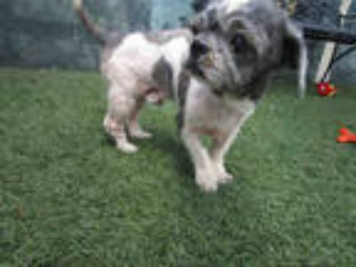 Adopt CHEWY a Black - with White Lhasa Apso / Mixed dog in Winter Haven