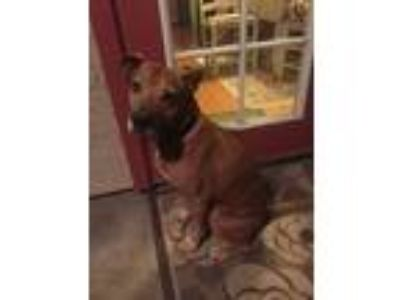 Adopt Dougie a Black - with Tan, Yellow or Fawn Labrador Retriever / Mixed dog