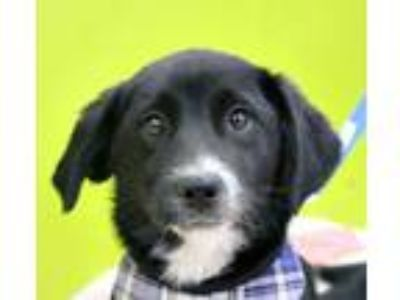 Adopt Sweet Squiggy! a Border Collie, Labrador Retriever