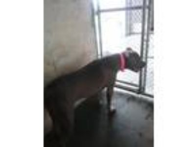 Adopt Laci a Pit Bull Terrier