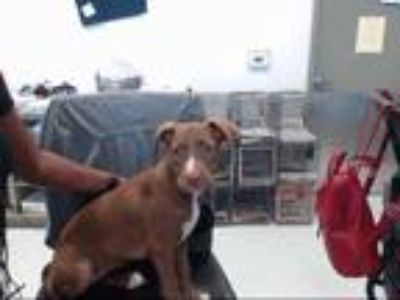 Adopt a Brown/Chocolate - with White Labrador Retriever / American Pit Bull