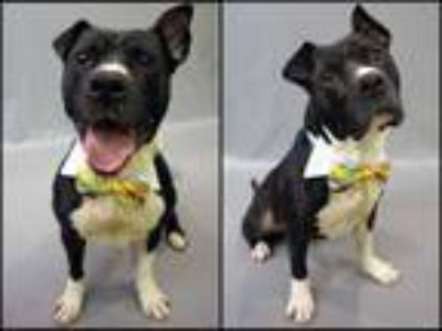 Adopt MAVERICK a Black - with White American Staffordshire Terrier / Mixed dog