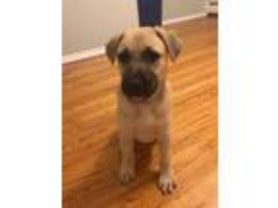 Adopt Bailey a Tan/Yellow/Fawn - with Black Labrador Retriever / Mixed Breed