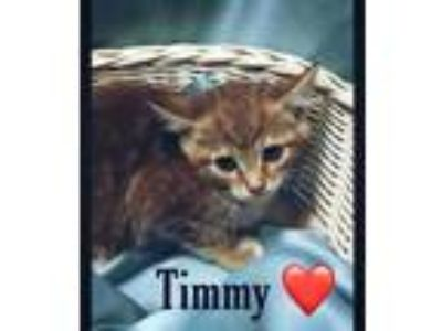 Adopt Timmy a Orange or Red Domestic Shorthair / Domestic Shorthair / Mixed cat