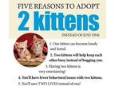 Adopt KITTENS!! a Tan or Fawn (Mostly) Domestic Mediumhair (medium coat) cat in