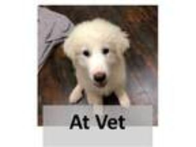 Adopt HARRY a White Great Pyrenees / Mixed dog in Tangent, OR (25828036)