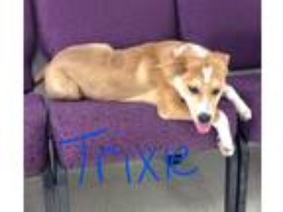 Adopt Trixie a Tan/Yellow/Fawn - with White Labrador Retriever / Mixed dog in