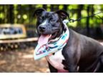 Adopt Brodi a Black - with White American Staffordshire Terrier / Mixed dog in