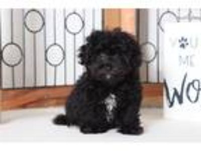 Wendy Adorable Little Maltipoo Puppy