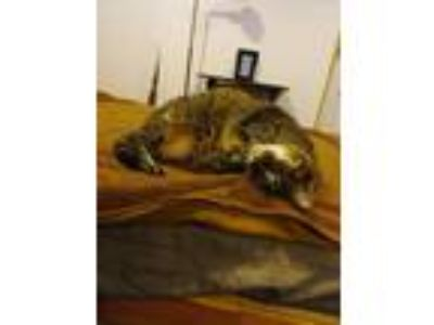 Adopt Playful Girl Jingles a Domestic Mediumhair / Mixed (medium coat) cat in