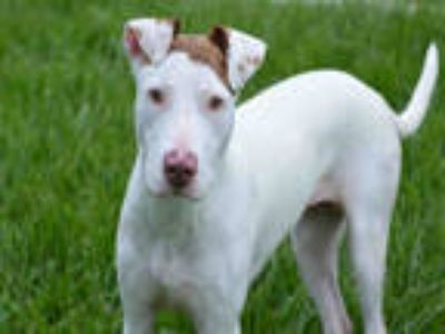 Adopt DONNA a White American Staffordshire Terrier / Mixed dog in Fort