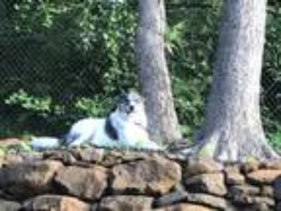 Adopt Cooda a White - with Gray or Silver Great Pyrenees / Catahoula Leopard Dog