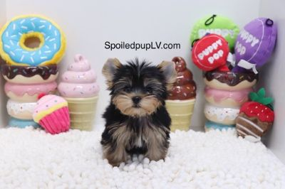 Yorkshire Terrier PUPPY FOR SALE ADN-95444 - Yorkshire Terrier  Ace  Male