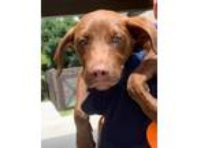 Adopt Brownie a Labrador Retriever, Mixed Breed