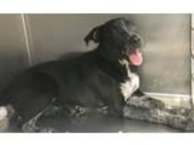 Adopt Cherry a Black - with White Australian Cattle Dog / Mixed dog in Loudon