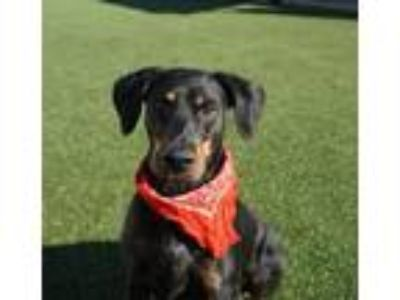 Adopt Dom a Doberman Pinscher, Mixed Breed