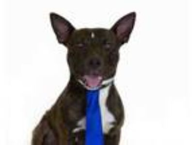 Adopt ALPACINO a Brindle American Pit Bull Terrier / Mixed dog in St.