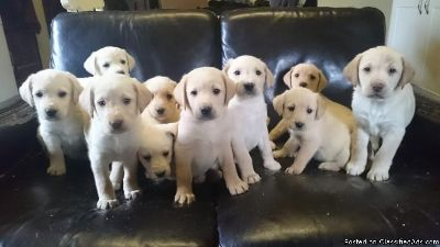 Acclaimed Golden retriever puppies