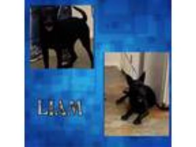 Adopt Liam a Black German Shepherd Dog / Mixed Breed (Large) / Mixed dog in