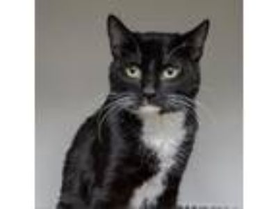 Adopt Kipnuk a Domestic Short Hair