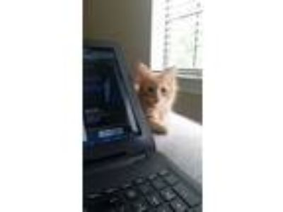 Adopt Pirozhok Woods a Orange or Red Domestic Shorthair / Mixed cat in Allen