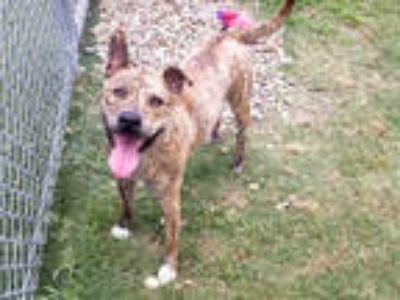 Adopt DAN MAN a Brindle - with White American Pit Bull Terrier / Mixed dog in