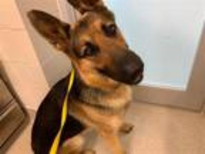 Adopt SEBASTIAN a German Shepherd Dog
