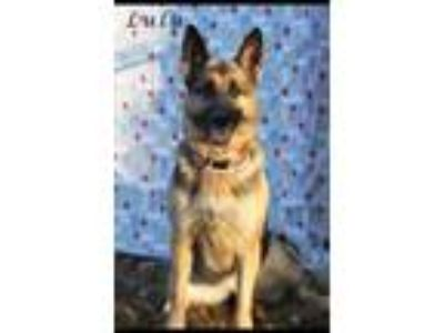 Adopt LULU a Black - with Tan, Yellow or Fawn German Shepherd Dog / Mixed dog in