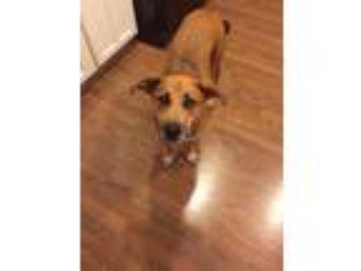 Adopt Lexie a Tan/Yellow/Fawn - with White Boxer / Labrador Retriever / Mixed