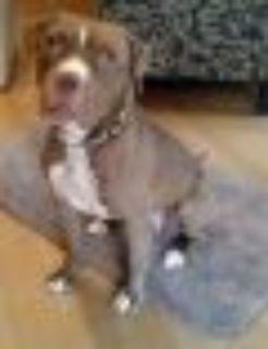 Malcolm Boxer - Staffordshire Bull Terrier Dog