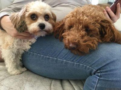 Cavapoo puppies ready