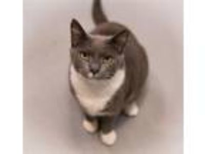 Adopt Bette Davis a Domestic Shorthair / Mixed cat in Charlottesville