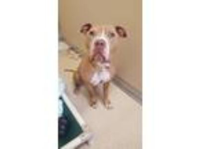 Adopt Lincoln a Tan/Yellow/Fawn - with White American Pit Bull Terrier / Mixed