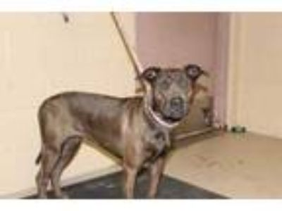 Adopt Phoenix a Brown/Chocolate American Pit Bull Terrier / Mixed dog in Albany