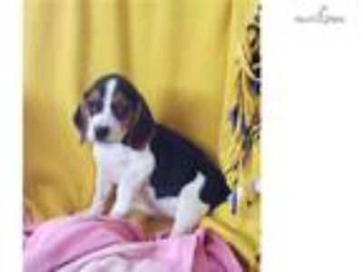 tricolored beagle Puppy! microchipped *vet checked