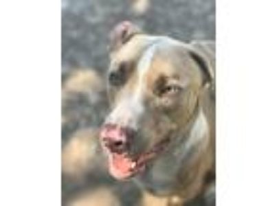 Adopt Finley a Tan/Yellow/Fawn - with White Mastiff / Weimaraner / Mixed dog in