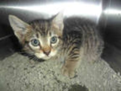 Adopt *MICKEY a Brown Tabby Domestic Shorthair / Mixed (short coat) cat in Upper
