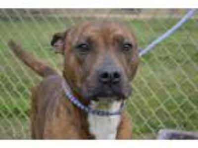 Adopt DOLLY a Brindle American Staffordshire Terrier / Mixed dog in Thomasville