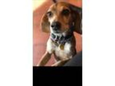 Adopt Lilly a Tan/Yellow/Fawn - with White Beagle / Mixed dog in New York