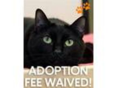 Adopt Jemi a Domestic Short Hair