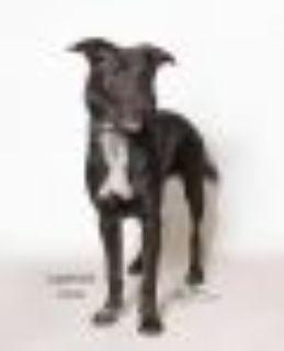 Blackberry Black Labrador Retriever Dog