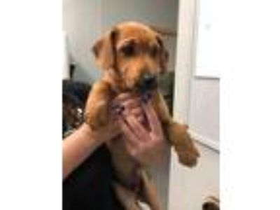 Adopt Tony a Red/Golden/Orange/Chestnut Labrador Retriever / Mixed dog in